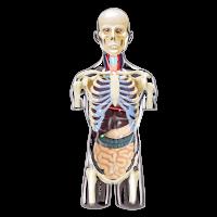 Анатомическая объемная модель Торс человека 4D Master
