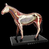 Анатомическая объемная модель Лошадь 4D Master