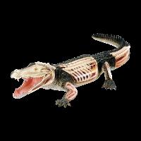 Анатомическая объемная модель Крокодил, 4D Master