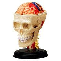 Анатомическая объемная модель Черепно-мозговая коробка человекаа 4D Master