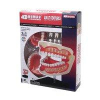 Объемная анатомическая модель 4D Master Зубной ряд человека
