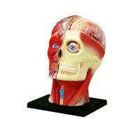 Объемная анатомическая модель 4D Master Голова человека