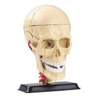 Набор для исследований Модель черепа с нервами сборная, 9 см, Edu-Toys